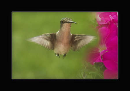 breen: Hummingbird in flight by Petunias