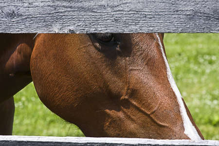 split rail: Horse peering through split rail fence Stock Photo