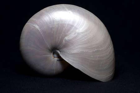 Pearly Nautilus Sea Shell