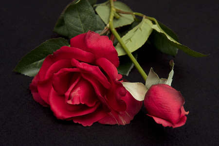 Closeup of Red rose and bud