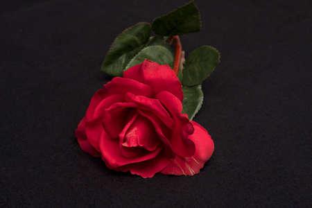 Single red rose on black background