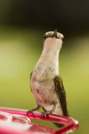 Tiny little hummingbird perched and at attention while watching carefully
