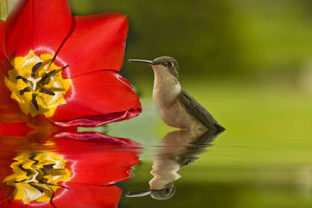 Hummingbird by flower with reflection in water Imagens