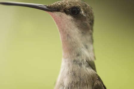 Extreme closeup Hummingbird