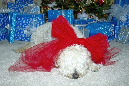 Sleepy dog wearing huge red bow in front of Christmas tree and presents