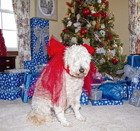Large golden doodle sits with large red bow on its neck in front of Christmas Tree Imagens