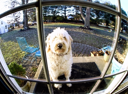 Dog wants to come in home and waits patiently to enter -  image is fish-eye lens view through paneld glass door