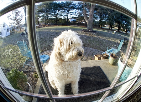 Dog waiting patiently to come in home - image taken with fish-eye lens for humor and interest