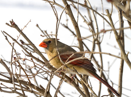 Female Red Cardinal perched on branches