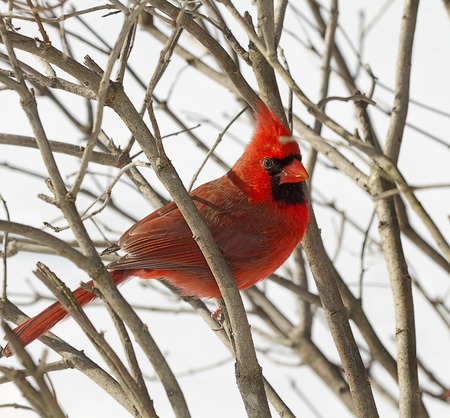 Closeup of side view of red cardinal perched on branches Imagens