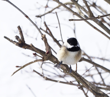 Black-capped Chickadee perched on branches after snow storm