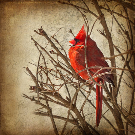 Textured image of bright and vivid color red cardinal on branches Imagens