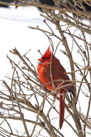 Red Cardinal sits proudly in branches