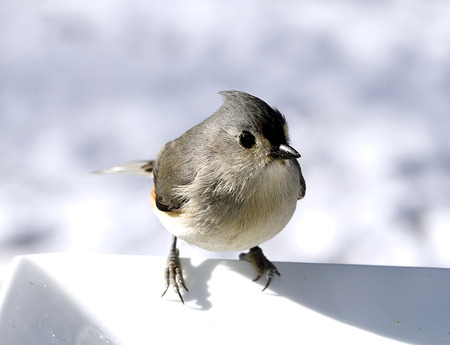 Titmouse bird perched on side of white plate in the wintertime Imagens