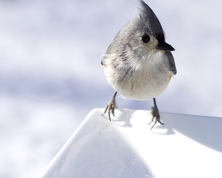 Titmouse bird in full alert while perched on edge of plate Imagens