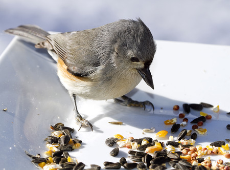 Small Titmouse bird feeding off birdseed on white plate Imagens