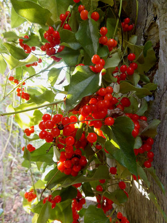 inedible red berries Imagens