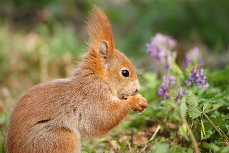 eats: Squirrel eats seeds