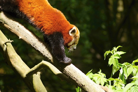lesser: Red Panda, firefox , lesser panda, Ailurus fulgens