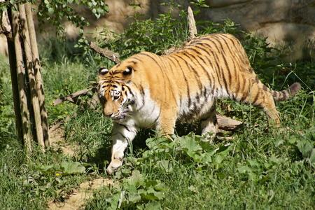 amur: Amur tiger - Panthera tigris altaica