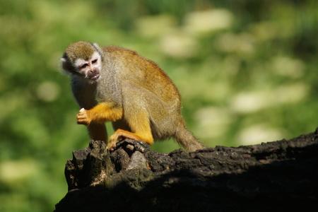 sciureus: Common Squirrel Monkey (Saimiri sciureus) Stock Photo