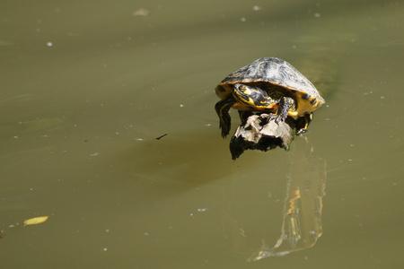 eared: read eared slider turtle basking on log