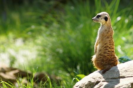 suricatta: Meerkat (Suricata suricatta) standing on guard Stock Photo