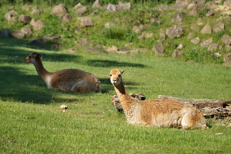 vicuna: Vicuna lying in the grass Stock Photo