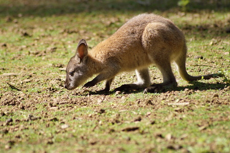 skippy: Young red necked wallaby Stock Photo