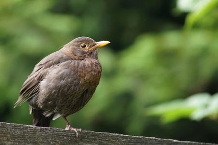 turdus: Blackbird, Turdus merula, sitting on a plank on one leg
