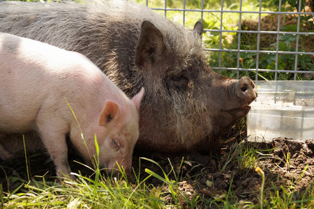 pot bellied: A family of pot - bellied pigs at a farm