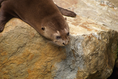 bask: Giant otter lying on a rock and looking into water Stock Photo