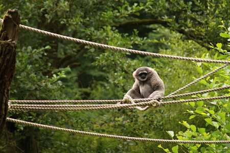silvery: Silvery Gibbon (Hylobates moloch) sitting on ropes with trees on background