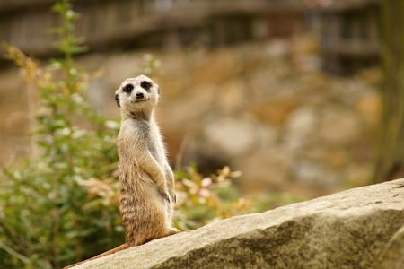 suricatta: Suricate or meerkat (Suricata suricatta) standing on guard