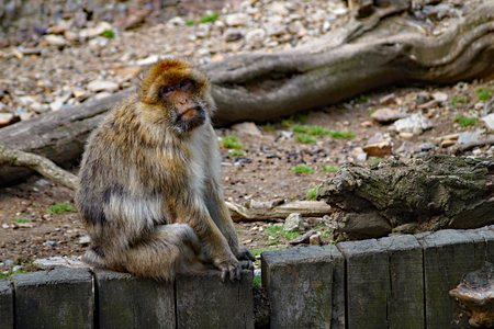 sylvanus: Barbary Macaque Monkey (Macaca sylvanus) Sitting on wooden fence Stock Photo