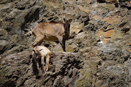springy: Female Ibex ( Capra caucasica )with her baby in the rocky terrain