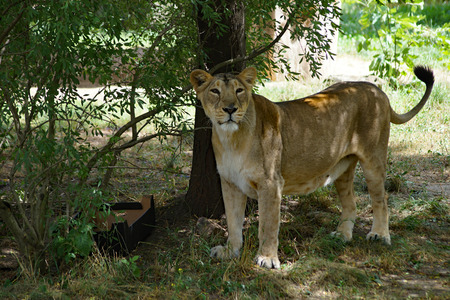 asiatic: Asiatic lioness - Panthera leo persica, playing with paper box Stock Photo