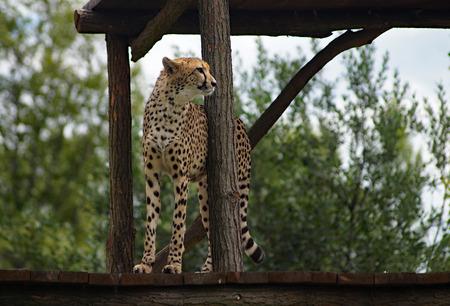 jubatus: Cheetah ( Acinonvx jubatus ) standing guard