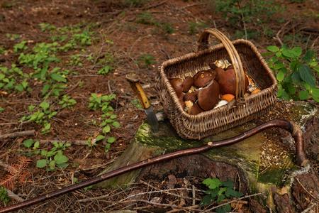 mushrooming: Mushrooming. Wicker basket full of mushrooms in the forest.