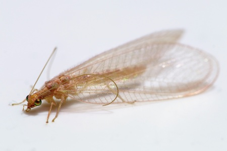 chrysoperla: Macro photo of Chrysoperla carnea - lacewing general Stock Photo
