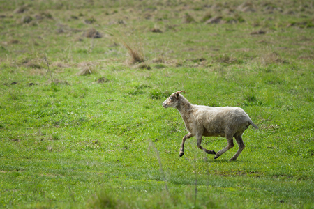 Sheep running fast on green grass of spring meadow