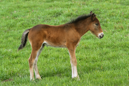 Young cute foal outdoor pasturing on green grass, full length portrait