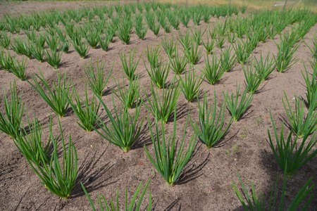 flavouring: Green onion field, rows of onion at farm growing in summer time.