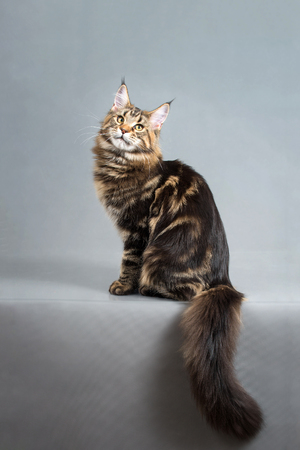Maine Coon kitten, Black Tabby Blotched color, 6 months old. Studio photo of striped cat sitting on grey background and looking at camera. Chic fluffy tail.