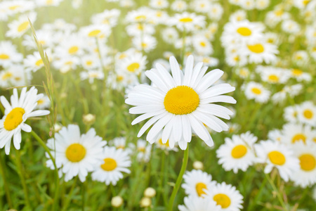 Brightly colored chamomile flowers, Daisies on blurred meadow background at sunny day .
