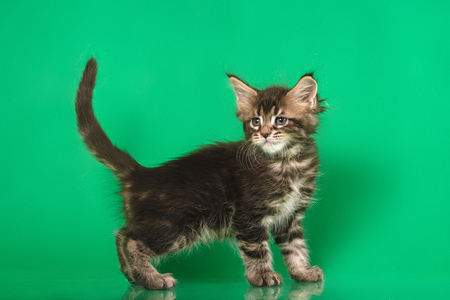 Two Cute Maine coon kittens on green bacground