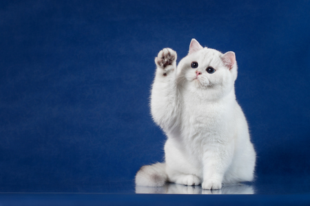 British white shorthair playful cat with magic Blue eyes put his paw up, like saying Hello. Britain kitten sitting on blue background with reflection, copy space for text.