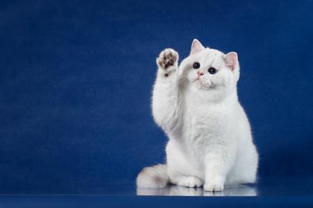 Gato Brincalhão Britânico Branco Brincalhão com Magia Olhos azuis colocam sua pata para cima, como dizendo Olá. Gatinho de Grâ Bretanha que senta-se no fundo azul com reflexão, espaço da cópia para o texto. Foto de archivo