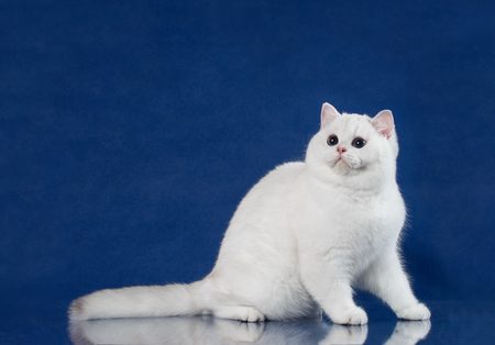 British white shorthair young cat with magic Blue eyes, britain kitten sitting on blue background with reflection
