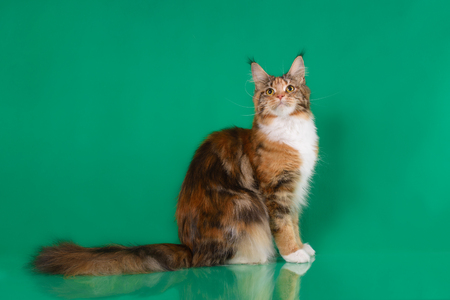 Bruine Klassieke Torbie Maine-de zitting van de wasbeerkat op groene achtergrond